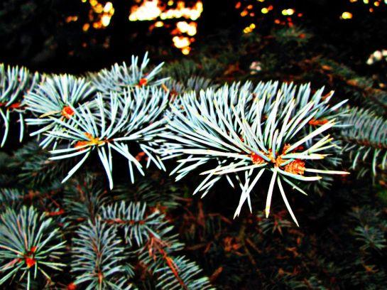 Drzewo iglaste igły srebrny świerk Sajmon Grafika Graficzek