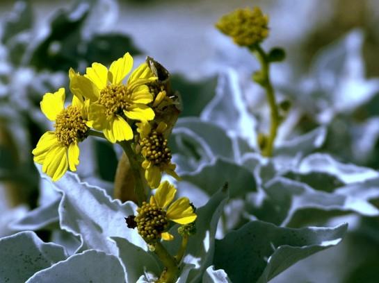 Brittlebush encelia farinosa żółty kwiatek Grafika Grafiki Sajmon Graficzek